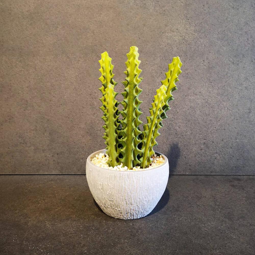 Декоративен кактус  - мостра